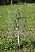 roční stromek - pološvestka - bohužel máme neoplocenou zahradu a sousedíme s lesem