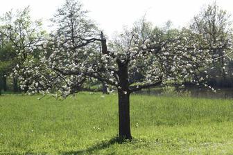 jabloň po radikálním řezu, měla jsem strach, že letos nebude mít úrodu, ale ona je jeden květ :o)