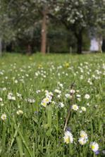 anglický trávník je nuda, není nad květinový koberec ze sedmikrásek, rozrazilu, pampelišek....