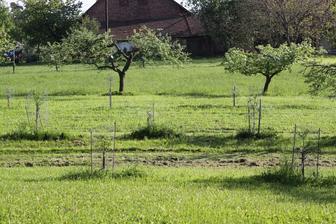 srnci si o ohebné kneny mladých stromků otloukají paroží a ničí je a tak máme všechny stromky obalené pletivem a to až do korunek