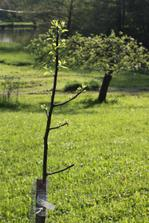 na kopeček k lesu jsme dali také nové stromky - švetsky raší