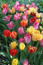 i tyto tulipány jsem sázela 3x, pomohlo až přikrytí starým plotem, jinak je slepice vyhrabaly