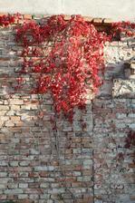 podzimní přísavník