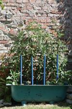 rajčata pěstuji ve vaně :-)