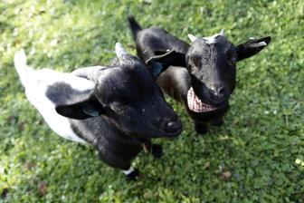noví obyvatelé chalupy - zakrslé kozy holandského typu - kozlík Bubák a kozička Rozinka