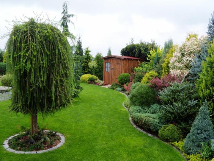 Nápady na zahradu - Převislý modřín