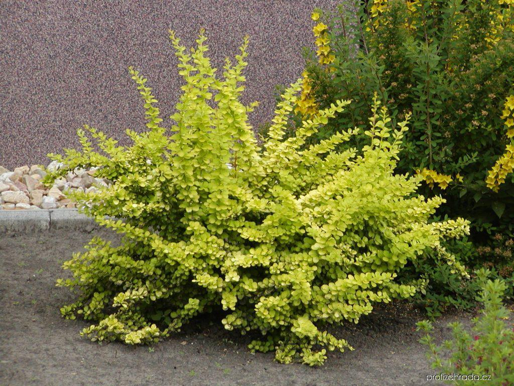 Nápady na zahradu - Dřišťál Thunbergův Aurea (Berberis thunbergii)