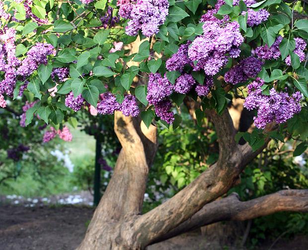 Nápady na zahradu - šeřík