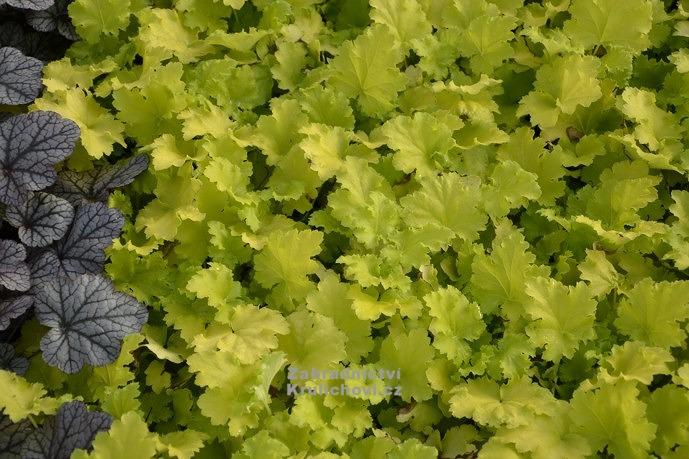 "Nápady na zahradu - Heuchera "" Lime Rickey "" ® - dlužicha"