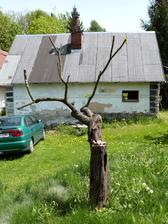 Niektoré stromy sme museli až takto ostrihať.