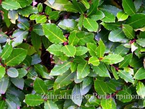 vavrin pravy- bobkovy list