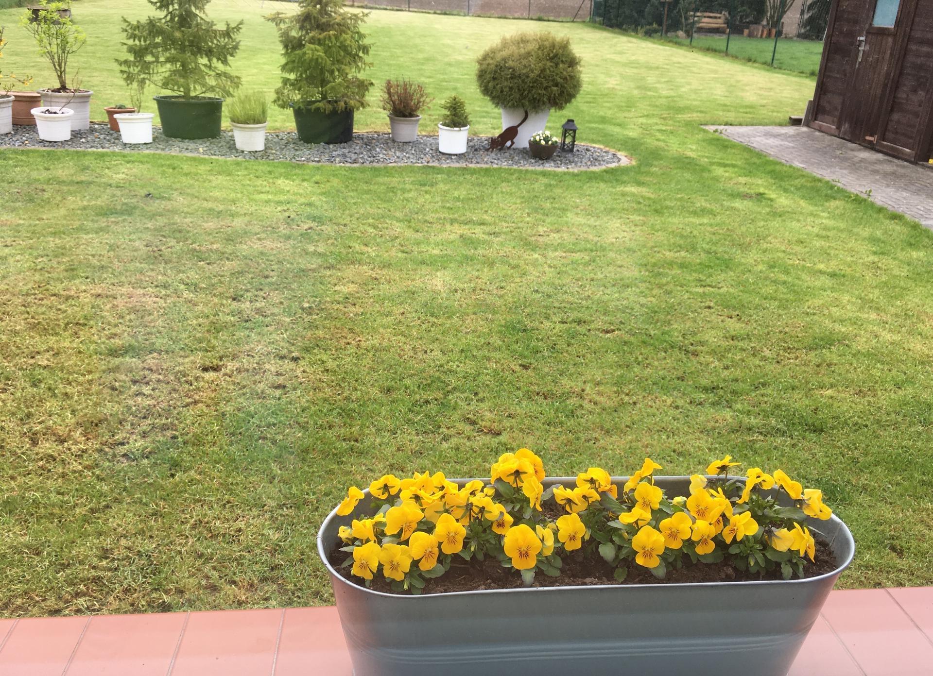 U nás 2021 - 1. květen - tráva zvertikutována, pohnojena a pěkně zalita deštěm.