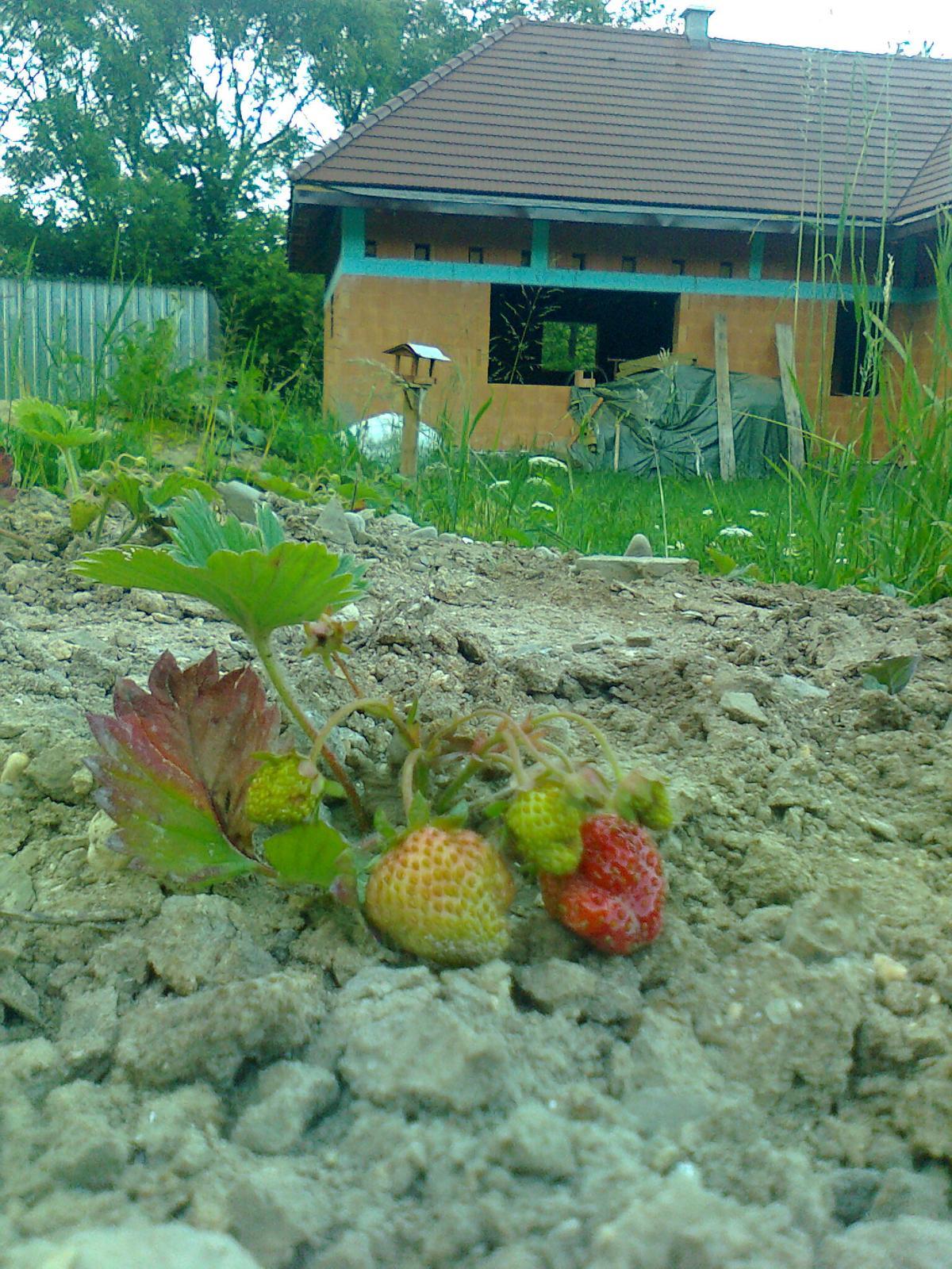 Naša chalupa - prvé jahody