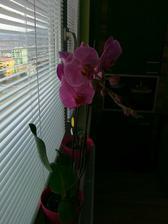 Mám krásnu orchideu od manžela a som užasnutá, že kvitne už 4 mesiac.