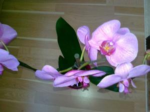 Čast orchidei na svetle