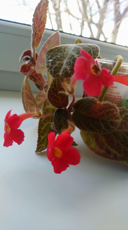 izbova rastlina Episcia - Obrázok č. 1