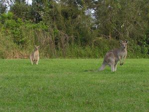 klokani nesmí chybět, setkávali jsme se s nimi téměř všude