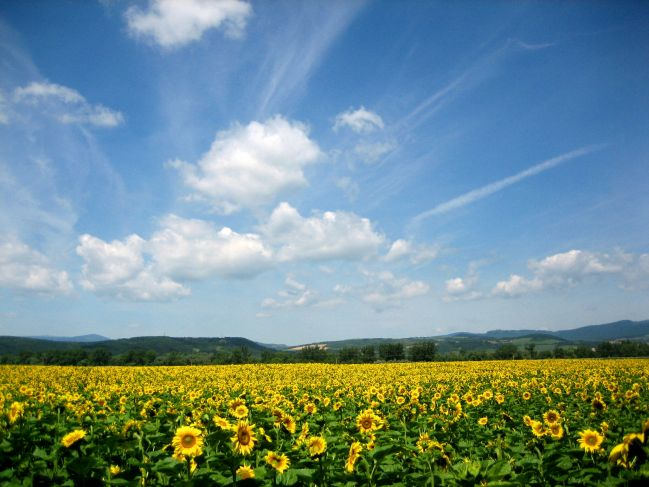 Nasa slnecnicova.... - na takomto slnecnicovomm poli sa chceme fotit
