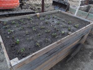"""zajtra je rok od zaciatku stavby, no a aspon nieco v zahrade sme stihli """"do roka a do dňa"""". Jahody posadene :)"""