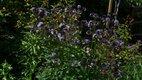orlicky hlavne fialove a modre,