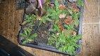 Knautia arvensis a knautia macedonica posledne kus,