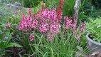 lobelia speciosa ruzova  - Obrázok č. 2