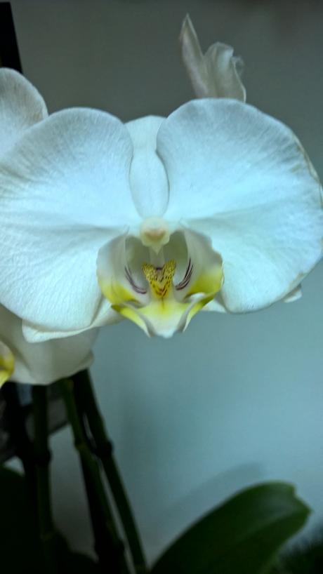 Phalaenopsis - Obrázok č. 1