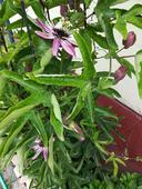 Passiflora Victoria,