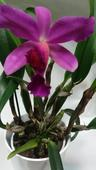 Orchidea Cattleya,