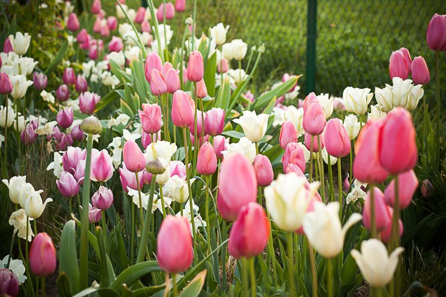 Trvalkový záhon III - Vraj tulipánov nikdy nie je dosť, ale ja už dosť mám :)