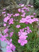 Klinček slzičkový (ružový) - priesada,