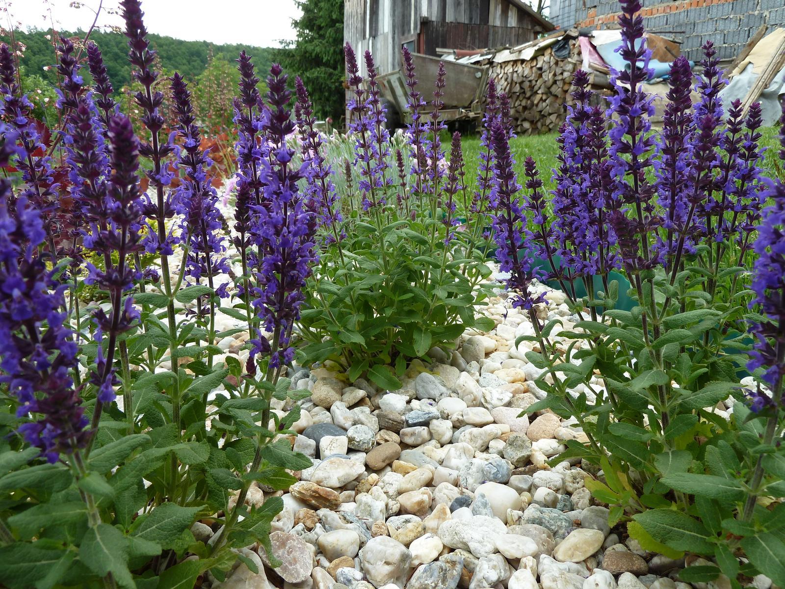 Šalvia hájna (modro-fialová) - 50 ks semien - Obrázok č. 1