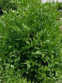 Ligurček lekársky - 50 ks semien,