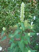 Agastache feniklová - 0,1 g semien,