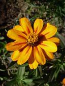 Cínia 'Star Gold' - semená,
