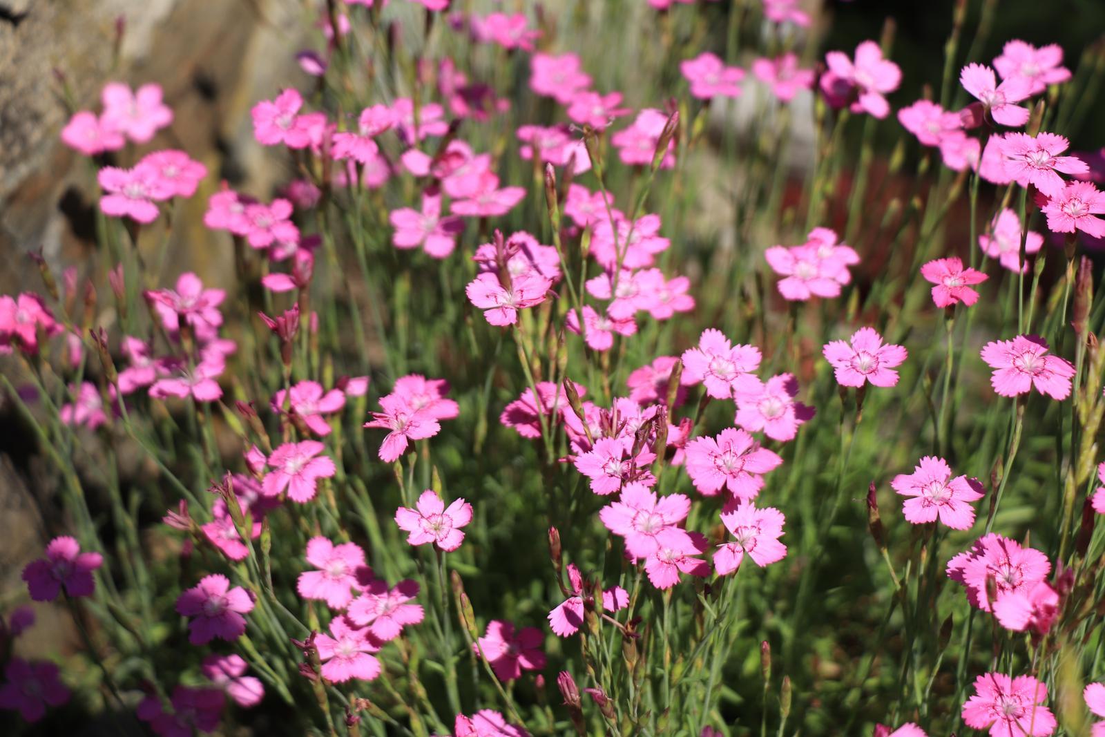 Klinček slzičkový ružový - 0,1 g semien - Obrázok č. 1
