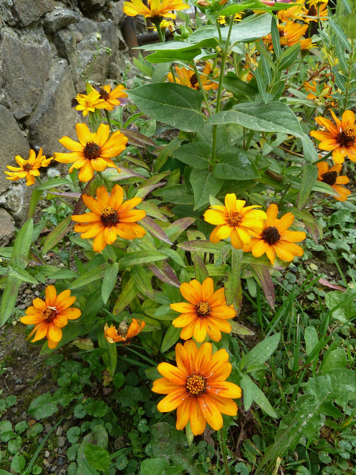Cínia 'Star Gold' - semená - Obrázok č. 1