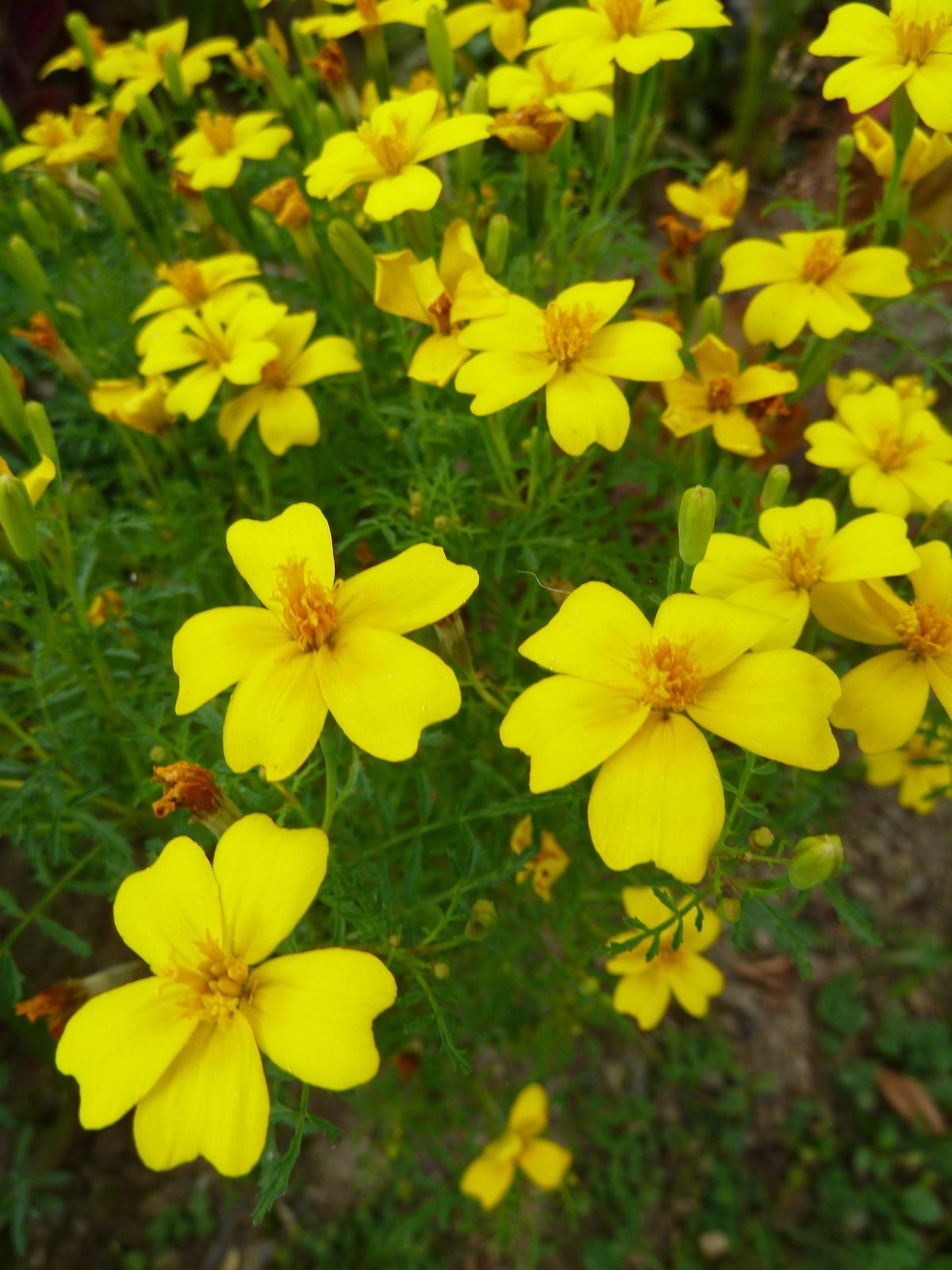 Aksamietnica drobnokvetá, žltá - 200 ks semená - Obrázok č. 1