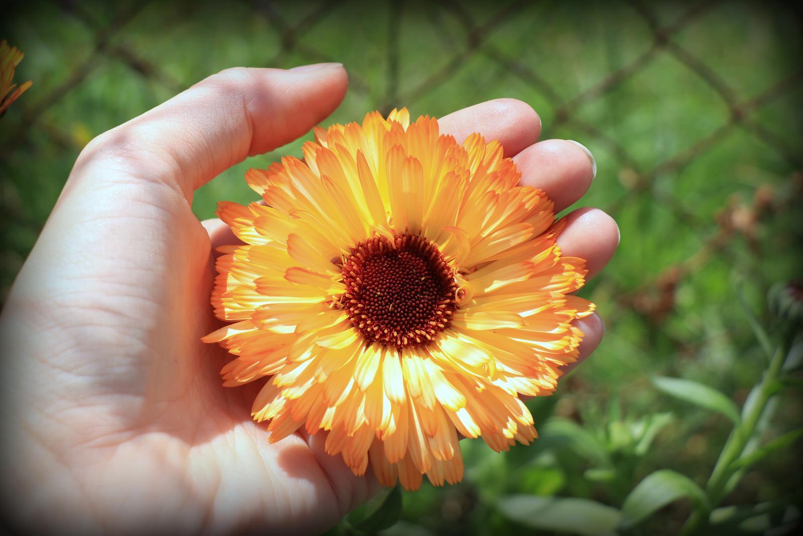 Nechtík lekársky, veľkokvetý - 50 ks semená - Obrázok č. 1