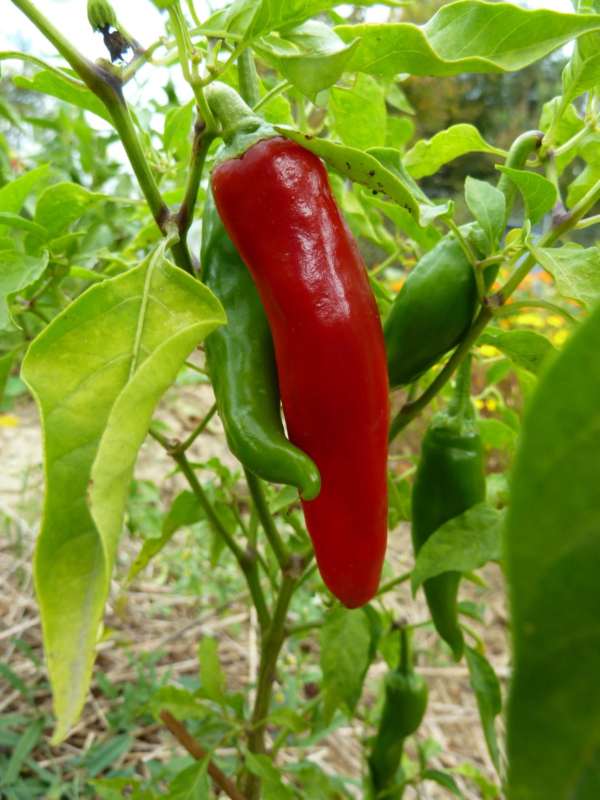 Paprika koreninová, sladká Kalocsai - 30 ks semená - Obrázok č. 1