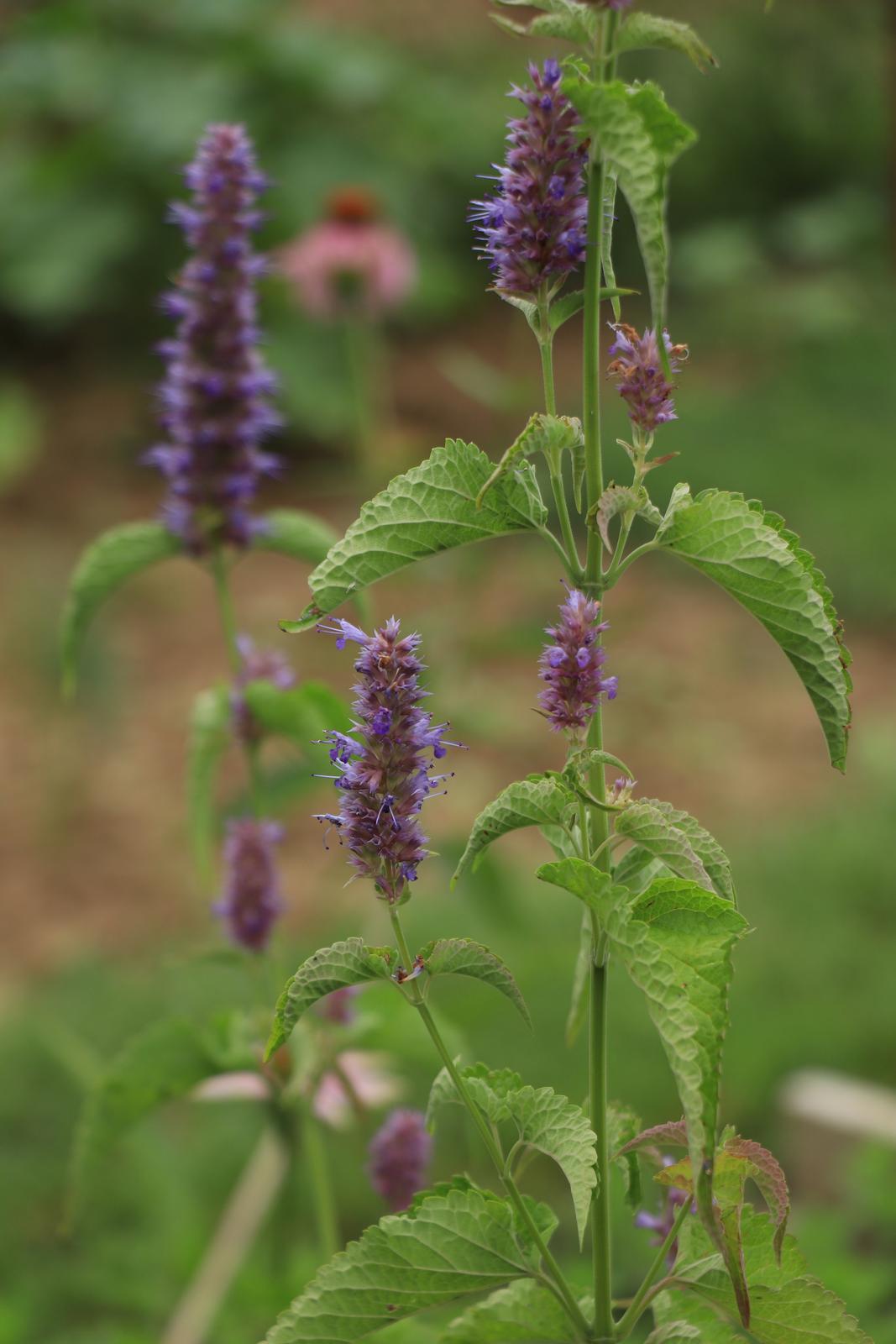 Agastache anízová, fialová - 0,2 g semená - Obrázok č. 1