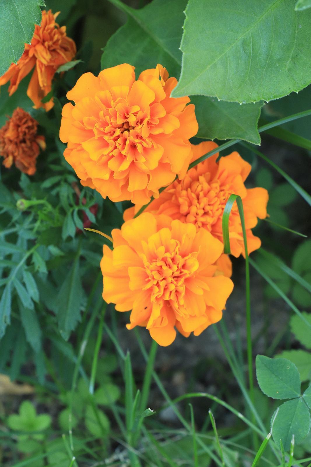Aksamietnica rozložitá,oranžová nízka - 200 semien - Obrázok č. 1