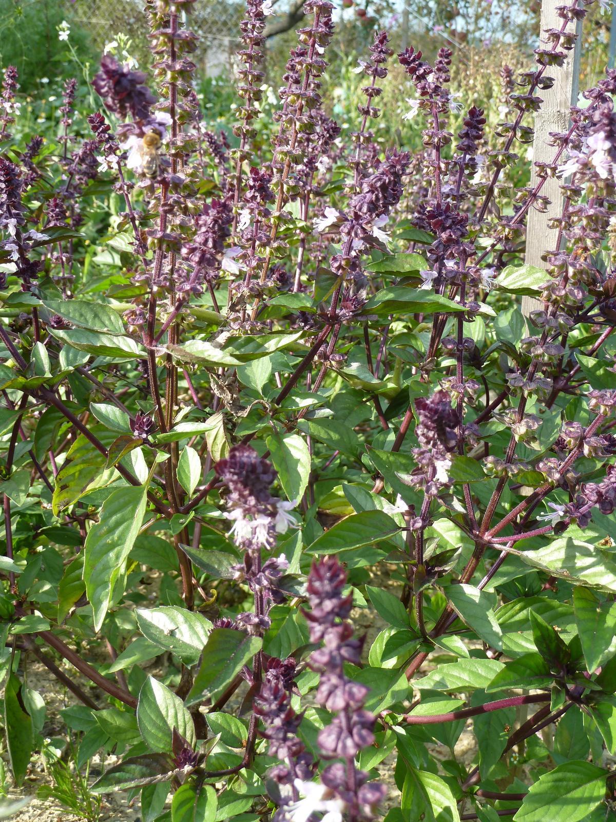 Bazalka škoricová - 0,2 g semená - Obrázok č. 1