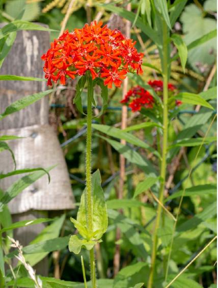 Kukučka hustokvetá - 50 ks semená - Obrázok č. 1