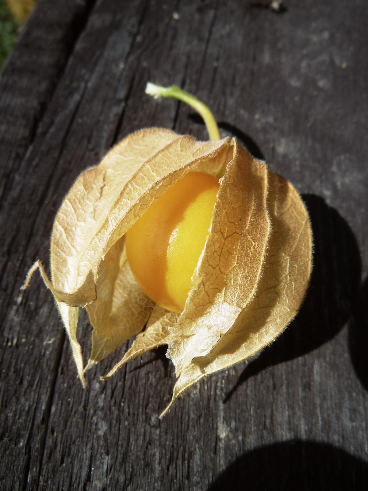 Machovka peruánska - 15 ks semená - Obrázok č. 1
