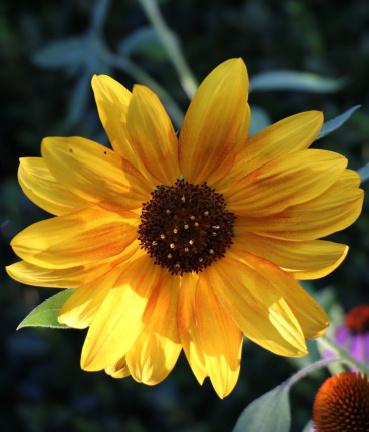 Slnečnica ročná, okrasná - 10 ks semená - Obrázok č. 1