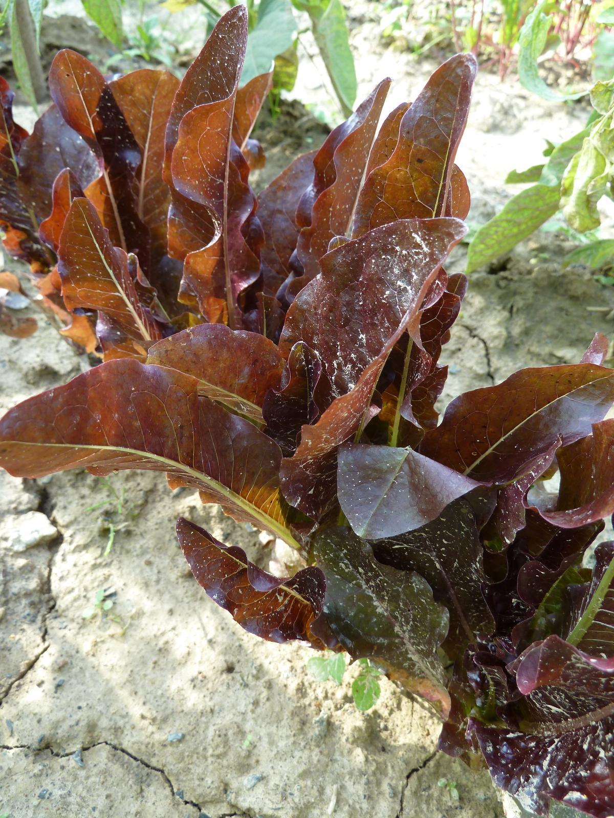 Šalát listový Relic - 0,2 g semená - Obrázok č. 1