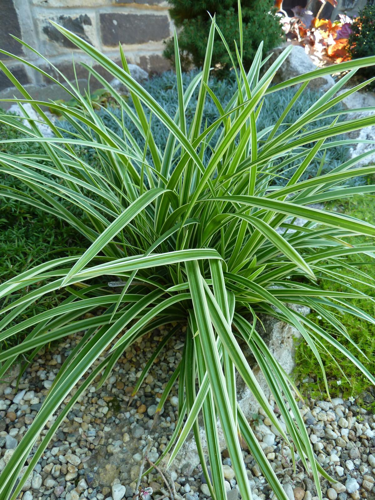 Ostrica japonská - voľnokorenná rastlina - Obrázok č. 1