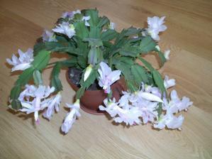 takto na jesen krasne kvitne vianocny kaktus