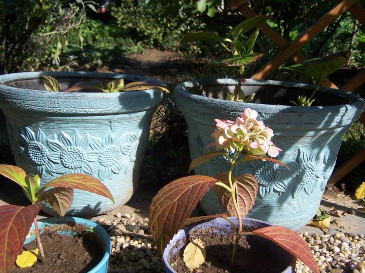 Záhradka a bylinková špirála - z 10 odrezkov sa 6 ks ujalo...teším sa, to bude o rok parády::))